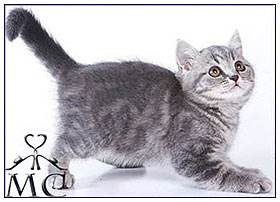 British shorthair cat, blue classic tabby