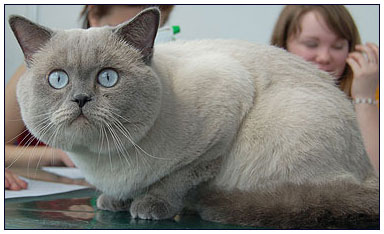 British shorthair cat, blue point