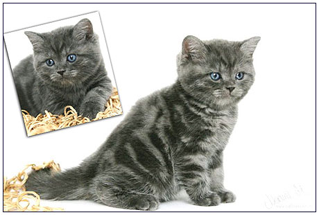 British shorthair cat, blue smoke