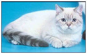 British shorthair cat, blue silver links point