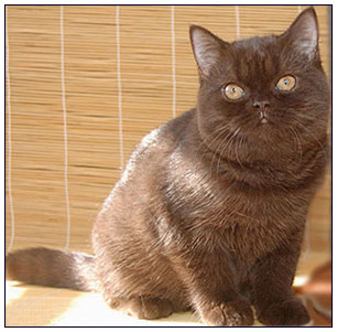 British shorthair cat chocolate colour