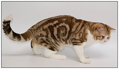 British shorthair cat, chocolate classic tabby with white (bi-color)