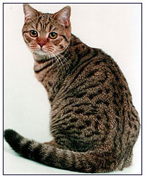 British shorthair cat, chocolate spotted