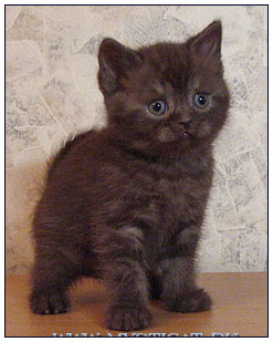 British shorthair cat, chocolate smoke