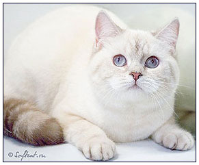 British shorthair cat, chocolate silver links point
