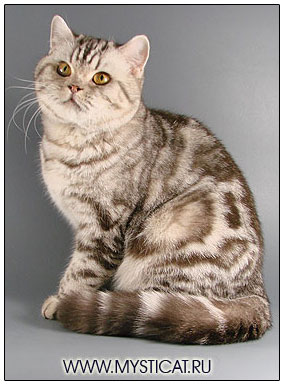 British shorthair cat, chocolate silver classic tabby