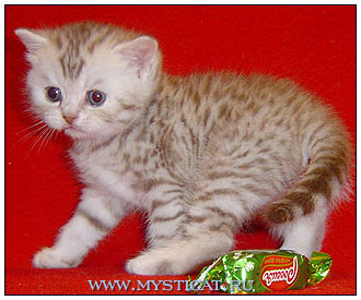 British shorthair cat, chocolate silver spotted