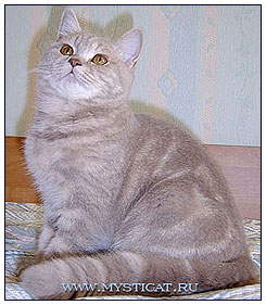 British shorthair cat, lilac classic tabby