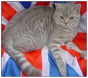 British shorthair cat, lilac spotted