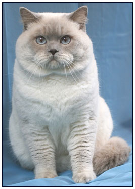 British shorthair cat, lilac point