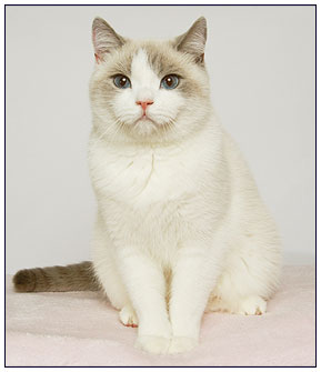 British shorthair cat, lilac point with white