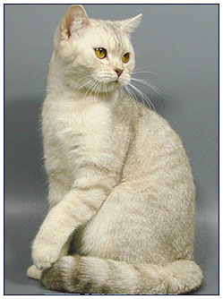 British shorthair cat, lilac silver shaded