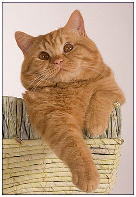 British shorthair cat red colour
