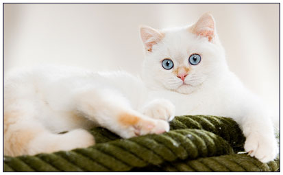 British shorthair cat, red links point