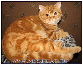 British shorthair cat, red classic tabby