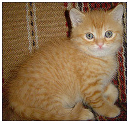 British shorthair cat, red spotted