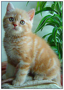 British shorthair cat, red silver classic tabby