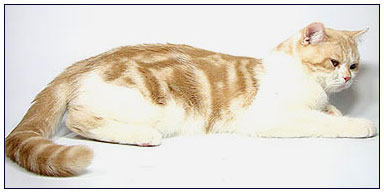 British shorthair cat, red silver spotted with white (bi-color)