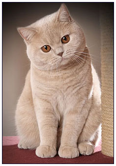 British shorthair cat cream colour