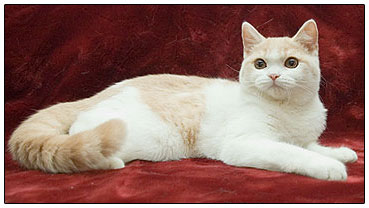 British shorthair cat, cream with white (bi-color)