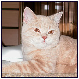 British shorthair cat, cream classic tabby