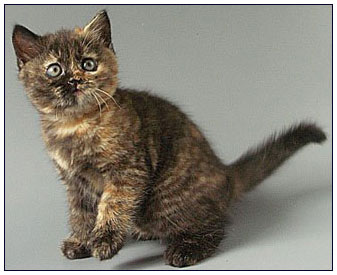 British shorthair cat, black tortie