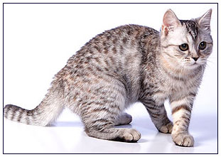 British shorthair cat, black torbie silver spotted