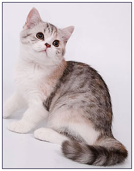 British shorthair cat, black torbie silver spotted with white (bi-color)