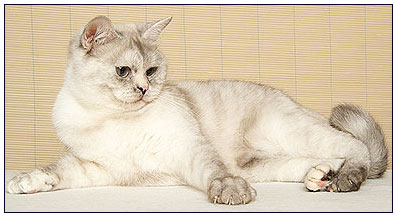 British shorthair cat, black tortie silver point