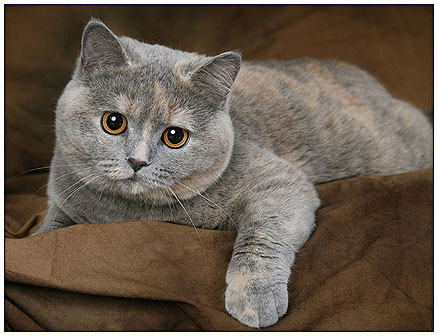 British shorthair cat, blue tortie