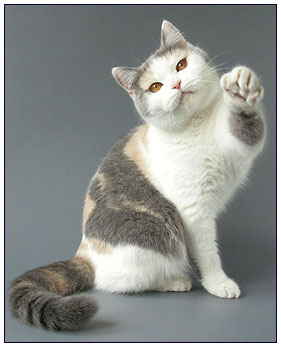 British shorthair cat, blue tortie with white (bi-color)