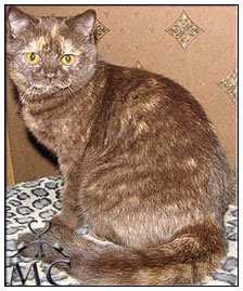 British shorthair cat, chocolate tortie