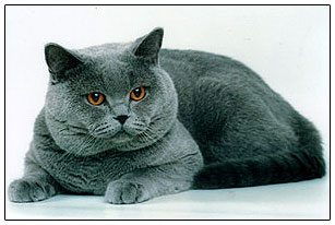 British shorthair cat blue colour