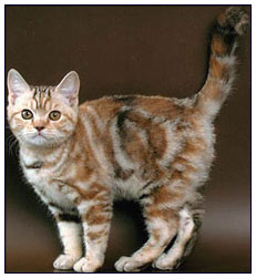 British shorthair cat, chocolate torbie silver classic tabby