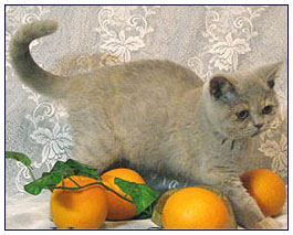 British shorthair cat, lilac tortie