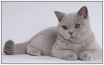 British shorthair cat lilac colour