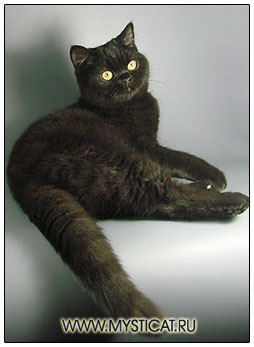 British shorthair cat black colour