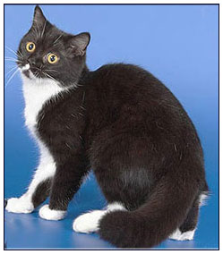 British shorthair cat, black with white (bi-color)