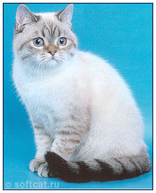 British shorthair cat, seal links point