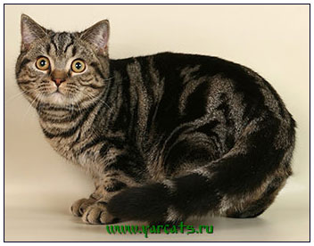 British shorthair cat black classic tabby