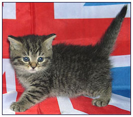 British shorthair cat, black mackrel