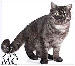 British shorthair cat, black smoke