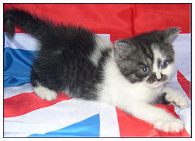БBritish shorthair cat, black smoke with white (bi-color)