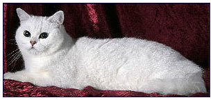 British shorthair cat, black silver shell