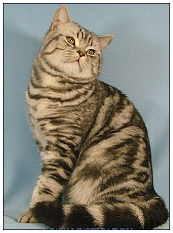 British shorthair cat, black silver classic tabby