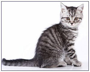 British shorthair cat, black silver mackrel