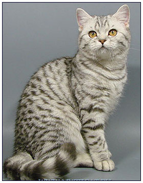 British shorthair cat, black silver spotted