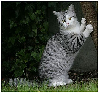 British shorthair cat, black silver spotted with white (bi-color)