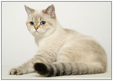 British shorthair cat, seal golden shell point