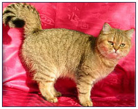 British shorthair cat, black golden mackrel